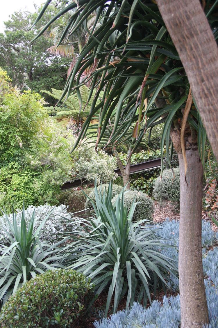 Yucca recurvifolia, Senecio serpens, kalanchoe hildebrandtiana and Aloe bainsii