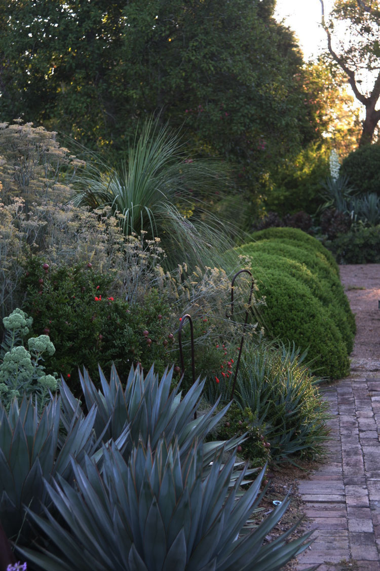 Agave Blue Glow, bronze fennel, Xanthorrhoea glauca and box mounds